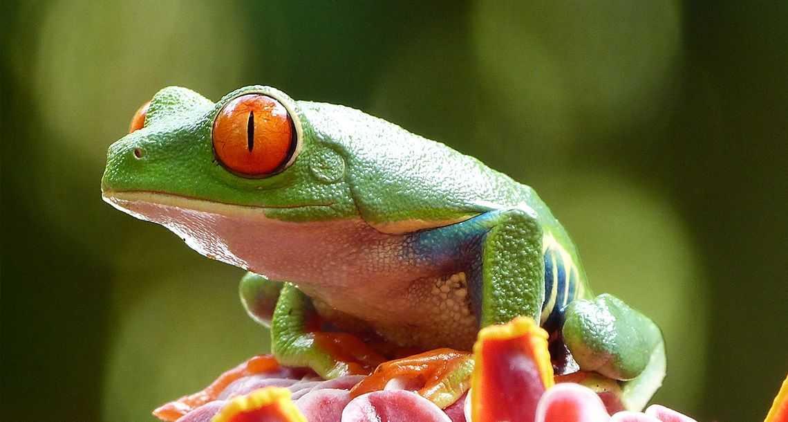 Rainette, la grenouille du Costa Rica