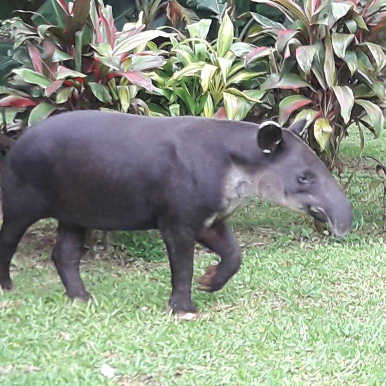 Un tapir vu dans le jardin du Celeste Mountain Lodge